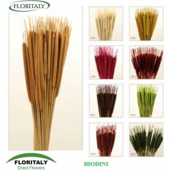 TYPHA MINI